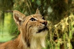 Zoo w Gdańsku: Ryś Europejski