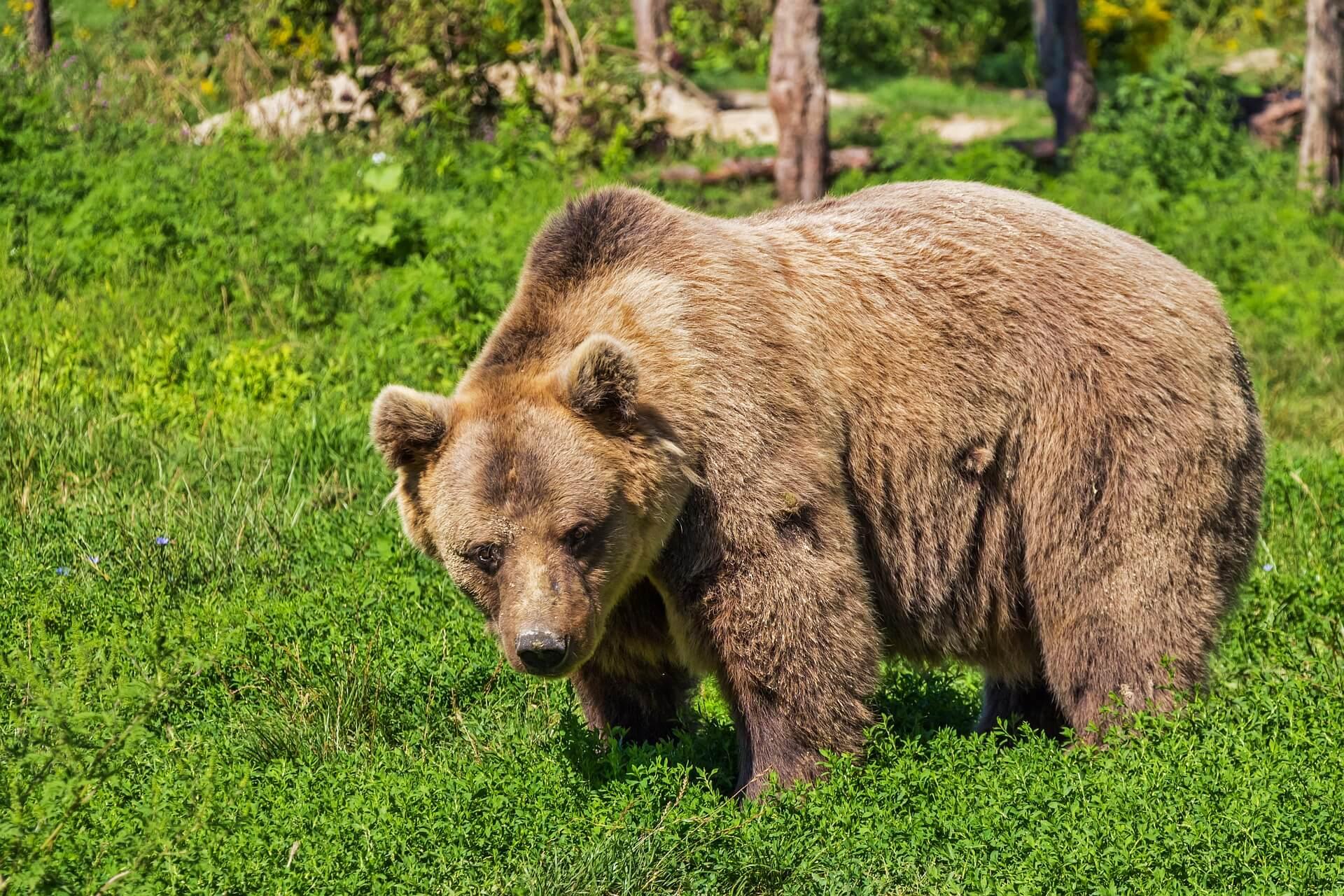 Jak odstraszyć niedźwiedzia