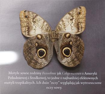 Motyl przypominający oczy sowy, Muzeum Motyli Arthropoda, Bochnia